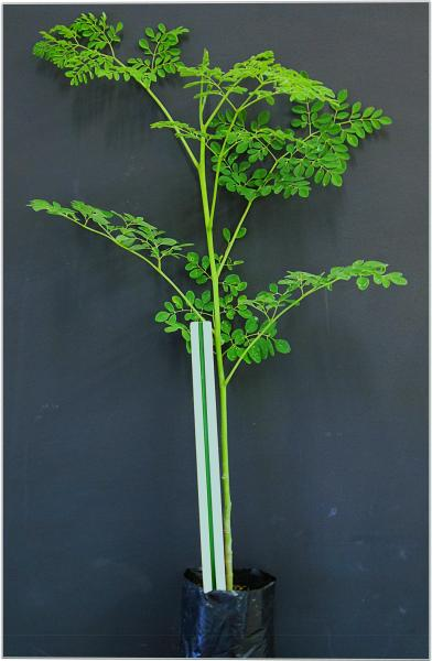 moringa-oleifera-plants